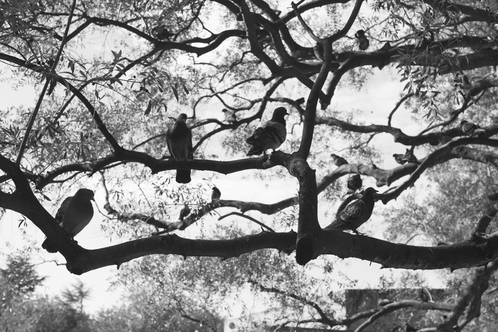 Lisbon, perched, pigeons, Michael Ast, branches, b&w